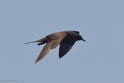 Parasitic Jaeger dark morph at pelagic trip off Hatteras, NC (06-02-2011) - 509