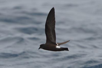 Band-rumped (possible Grant's) Storm-Petrel juvenile at pelagic trip off Hatteras, NC (06-05-2011) - 217