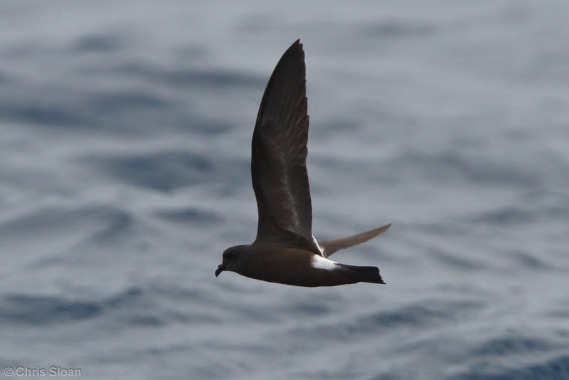 Band-rumped (possible Grant's) Storm-Petrel juvenile at pelagic trip off Hatteras, NC (06-05-2011) - 217