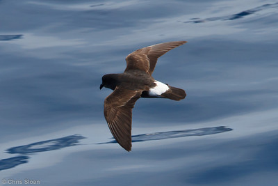 European Storm-Petrel at pelagic trip off Hatteras, NC (05-31-2011) - 794