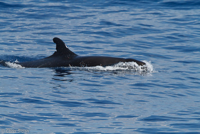 False Killer Whale at pelagic trip off Hatteras, NC (05-29-2011) - 401