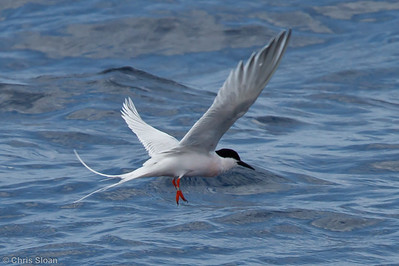 Roseate Tern at pelagic trip off Hatteras, NC (06-01-2011) - 359