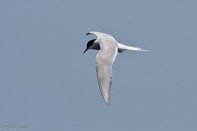 Arctic Tern adult at pelagic trip off Hatteras, NC (06-04-2011) - 021
