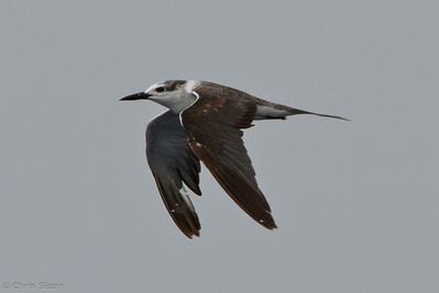 Bridled Tern first cycle at pelagic trip off Hatteras, NC (06-05-2011) - 329