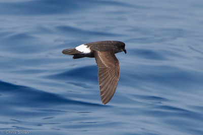 European Storm-Petrel at pelagic trip off Hatteras, NC (05-31-2011) - 820