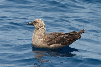 South Polar Skua at pelagic trip off Hatteras, NC (06-04-2011) - 149