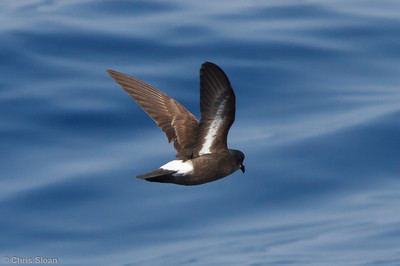 European Storm-Petrel at pelagic trip off Hatteras, NC (05-31-2011) - 830