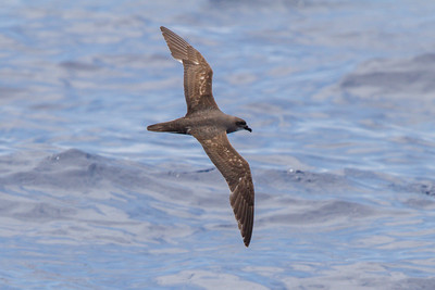 Trinidade Petrel light morph at Gulf Stream pelagic off Hatteras, NC (06-02-2012) 002-79