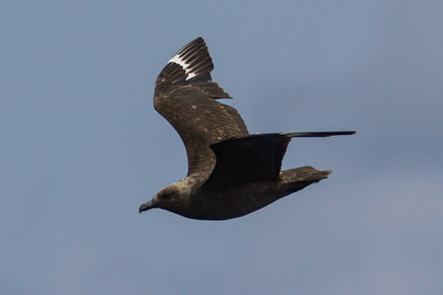 South Polar Skua at Gulf Stream pelagic off Hatteras, NC (06-01-2012) 001-10