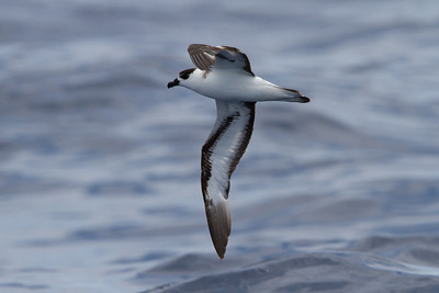 Black-capped Petrel at Gulf Stream pelagic off Hatteras, NC (06-02-2012) 002-60