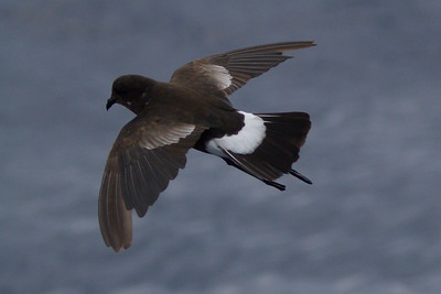 Wilson's Storm-Petrel adult at Gulf Stream pelagic off Hatteras, NC (06-01-2012) 001-26