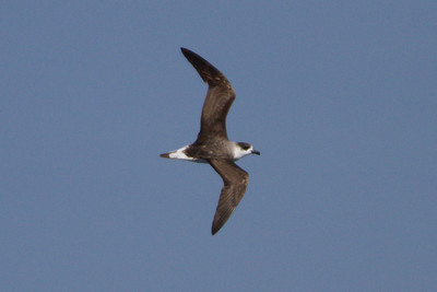 Black-capped Petrel at Gulf Stream pelagic off Hatteras, NC (06-02-2012) 002-31