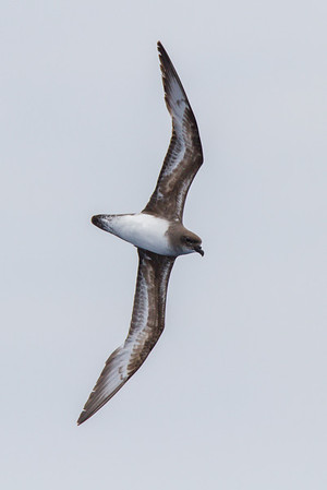 Trinidade Petrel light morph at Gulf Stream pelagic off Hatteras, NC (06-02-2012) 002-74