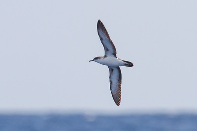 Audubon's Shearwater at Gulf Stream pelagic off Hatteras, NC (06-02-2012) 002-109