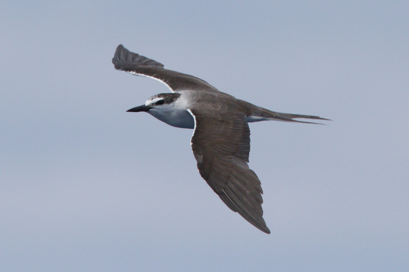 Bridled Tern at Gulf Stream pelagic off Hatteras, NC (06-02-2012) 002-106