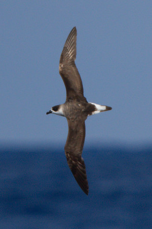 Black-capped Petrel at Gulf Stream pelagic off Hatteras, NC (06-02-2012) 002-23