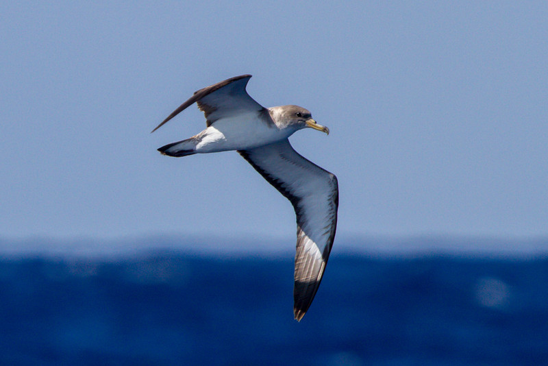 Cory's Shearwater at Gulf Stream pelagic off Hatteras, NC (06-03-2012) 003-11