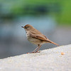 Bryant Park: Hermit Thrush on wall