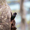 Bryant Park: Starling in tree cavity