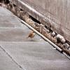 Bryant Park: Hermit Thrush along wall