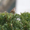 Bryant Park: Swamp Sparrow on bush