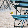 Bryant Park: Yellow Warbler on chair