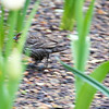 Bryant Park: Female Red-winged Blackbird among bulbs