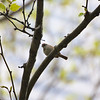 Bryant Park: Chipping Sparrow on branch