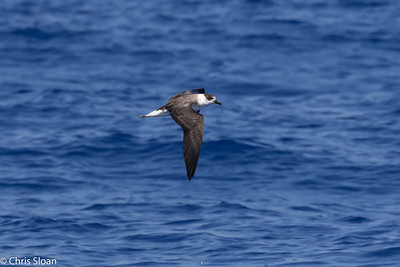 Black-capped Petrel in Gulf Stream pelagic off Hatteras, NC (08-26-2016) 109-308
