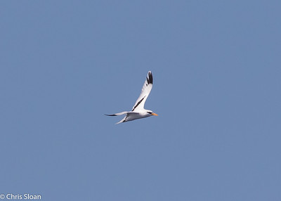White-tailed Tropicbird adult in Gulf Stream pelagic off Hatteras, NC (08-26-2016) 109-197