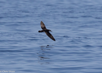 Audubon's Shearwater in Gulf Stream pelagic off Hatteras, NC (08-26-2016) 109-51