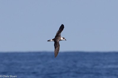 Black-capped Petrel in Gulf Stream pelagic off Hatteras, NC (08-26-2016) 109-164