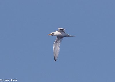 White-tailed Tropicbird adult in Gulf Stream pelagic off Hatteras, NC (08-26-2016) 109-205