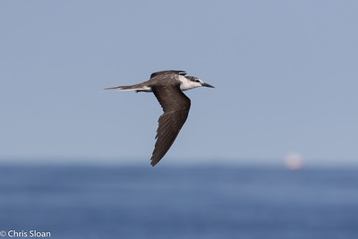 Bridled Tern in Gulf Stream pelagic off Hatteras, NC (08-26-2016) 109-55