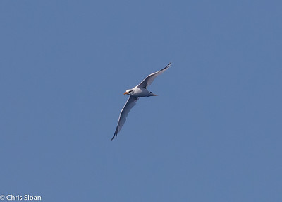 White-tailed Tropicbird adult in Gulf Stream pelagic off Hatteras, NC (08-26-2016) 109-230
