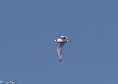White-tailed Tropicbird adult in Gulf Stream pelagic off Hatteras, NC (08-26-2016) 109-236