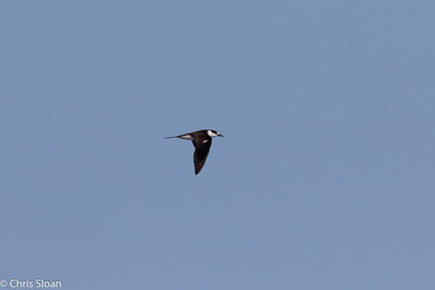 Sooty Tern in Gulf Stream pelagic off Hatteras, NC (08-26-2016) 109-85