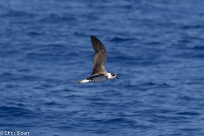 Black-capped Petrel in Gulf Stream pelagic off Hatteras, NC (08-26-2016) 109-309