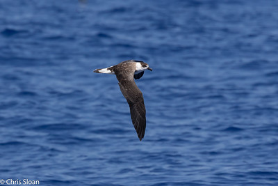Black-capped Petrel in Gulf Stream pelagic off Hatteras, NC (08-26-2016) 109-310
