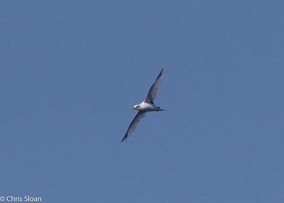 White-tailed Tropicbird adult in Gulf Stream pelagic off Hatteras, NC (08-26-2016) 109-232