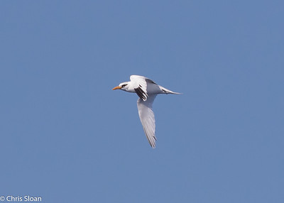 White-tailed Tropicbird adult in Gulf Stream pelagic off Hatteras, NC (08-26-2016) 109-210
