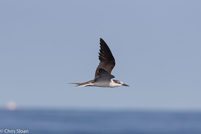 Bridled Tern in Gulf Stream pelagic off Hatteras, NC (08-26-2016) 109-56