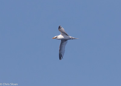 White-tailed Tropicbird adult in Gulf Stream pelagic off Hatteras, NC (08-26-2016) 109-207