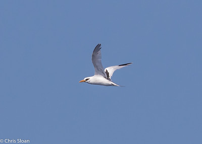 White-tailed Tropicbird adult in Gulf Stream pelagic off Hatteras, NC (08-26-2016) 109-216