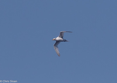 White-tailed Tropicbird adult in Gulf Stream pelagic off Hatteras, NC (08-26-2016) 109-233