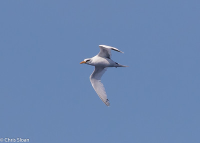 White-tailed Tropicbird adult in Gulf Stream pelagic off Hatteras, NC (08-26-2016) 109-203