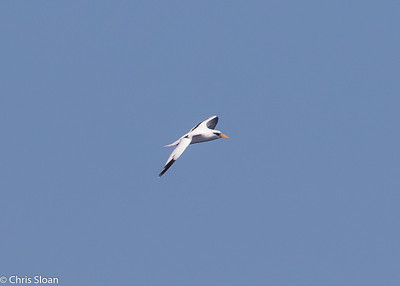 White-tailed Tropicbird adult in Gulf Stream pelagic off Hatteras, NC (08-26-2016) 109-196