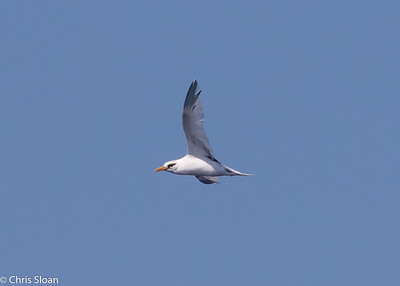 White-tailed Tropicbird adult in Gulf Stream pelagic off Hatteras, NC (08-26-2016) 109-209