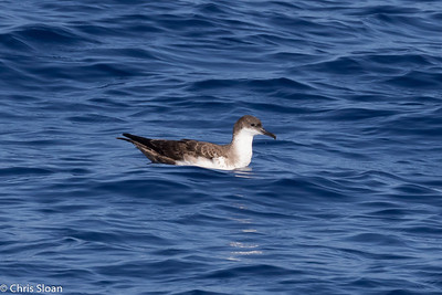 Great Shearwater in Gulf Stream pelagic off Hatteras, NC (08-26-2016) 109-114