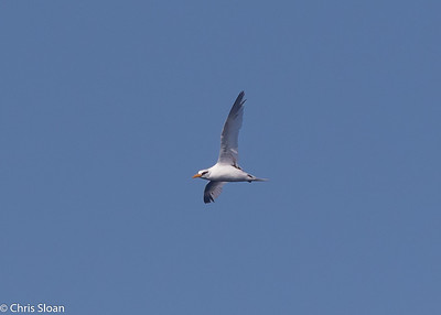 White-tailed Tropicbird adult in Gulf Stream pelagic off Hatteras, NC (08-26-2016) 109-235